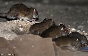 town   rats run  packs shocking pictures