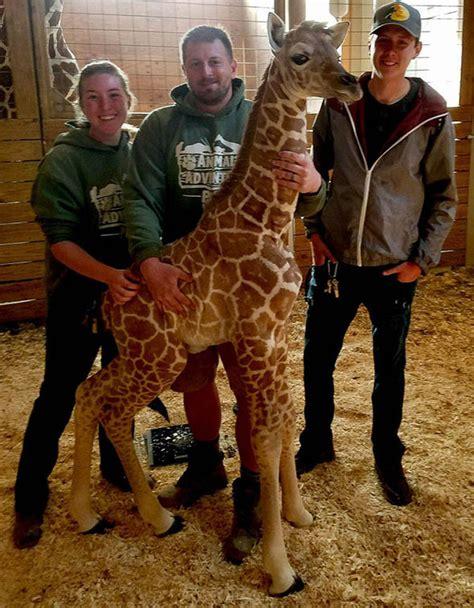 april  giraffe kicks vet   privates grumpy mum