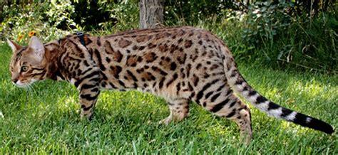 bengal cat grown beautiful grown bengal cat walking
