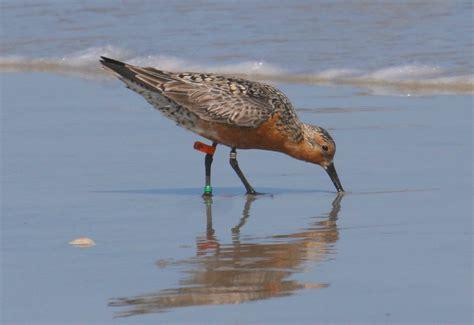 migratory birds use north carolina inlets as rest stops