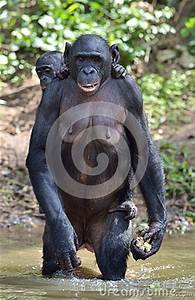Wasser Steht In Der Spülmaschine : bonobo der auf ihren beinen im wasser mit einem jungen auf einer r ckseite steht das bonobo pan ~ Orissabook.com Haus und Dekorationen