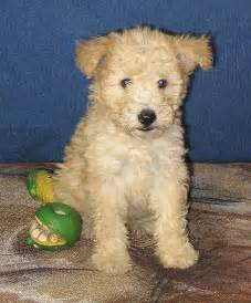 Hungarian Pumi Puppies for Sale