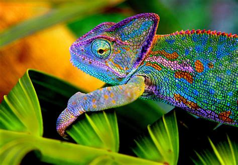veiled chameleon changing colors amazing camouflaged animals n
