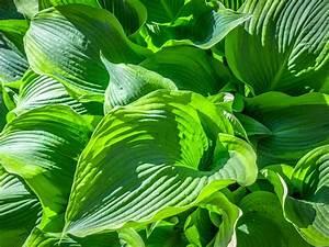 Hosta, Plants, For, Sun, U2013, Choosing, Hostas, That, Like, Sun