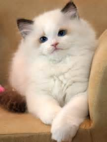 rag doll cat ragdoll cats species picture animals wiki