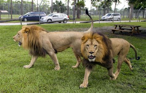 NEW: Lion Country Safari named a top 10 safari park in the ...