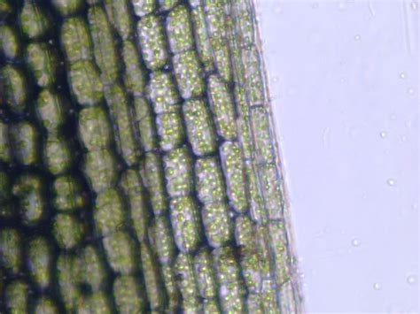 nadexzzs site pengamatan sel tumbuhan