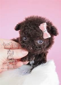 Precious Poodle Puppies for Sale | Teacups, Puppies & Boutique