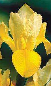 Image result for dutch iris golden beauty | Dutch iris ...