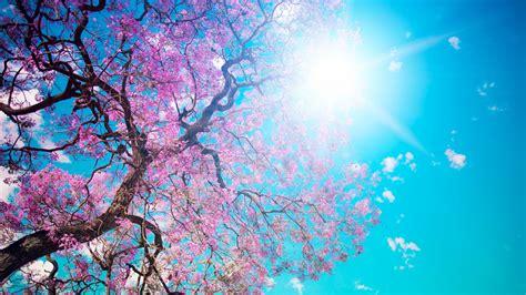 full hd wallpaper sakura sun sky tree desktop backgrounds