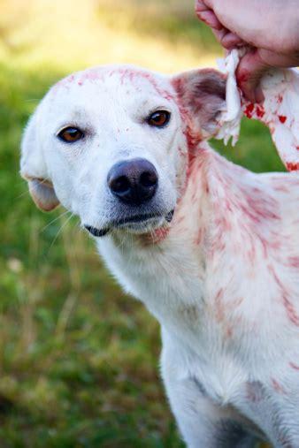 treat ear bleeding  dog wound care society