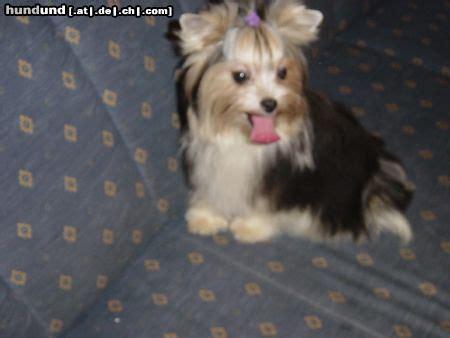 yorkshire terrier foto  hundundde