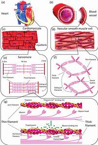Muscle Contraction Illustrated On Different Structural