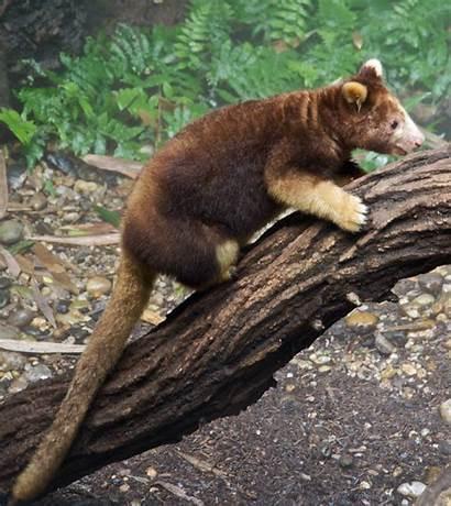 Kangaroo Tree Dendrolagus Bronx Zoo Cropped Commons