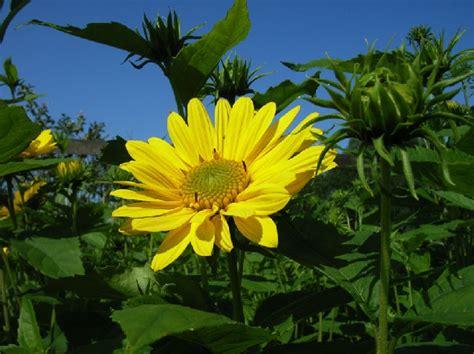 gele hoge bloemen jan den hertog tuinplanten boskoop
