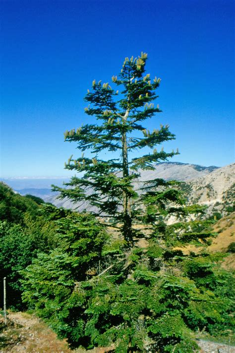 abies nebrodensis wikipedia