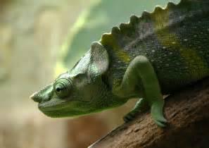 World Biggest Chameleons