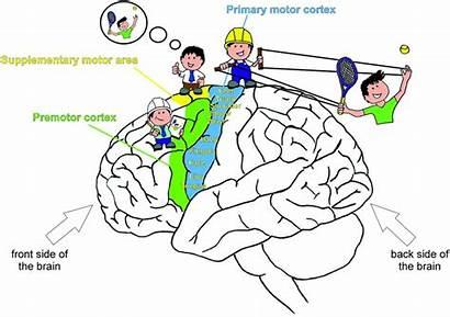 Brain Movement Control Areas Movements Cortex Motor