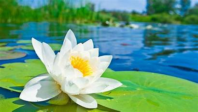 Lotus Background Flowers Computer