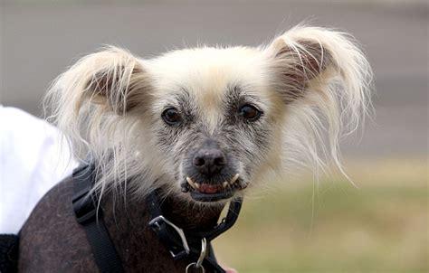 mugly menangkan kontes anjing  jelek sedunia