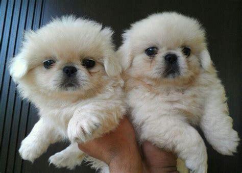 top quality white pekingese puppies  sale singapore