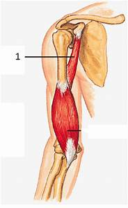 Anterior Compartment of Arm: Muscles at Salt Lake ...