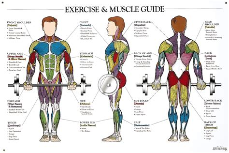 Human hair uk human muscles diagram muscles a band or bundle of fibrous tissue in a human or animal body that has the ability to contract, producing movement in or maintaining the position of. Muscle Anatomy Workout Image - weighteasyloss.com
