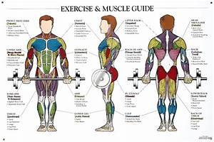Workout Diagram Muscle  U2013 Blog Dandk