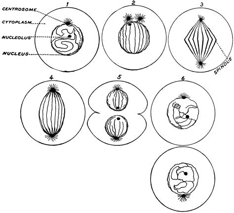 process  cell division clipart
