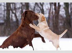 Labrador Welpen Viele Tipps und tolle Fotos