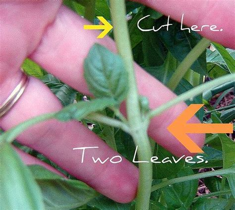Pruning Basil On Pinterest Basil Plant Petunia Care And