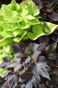 Ornamental Sweet Potato Vine Is A Vivid Garden Accent