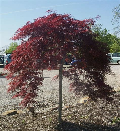 japanese maple pictures japanese maple varieties information