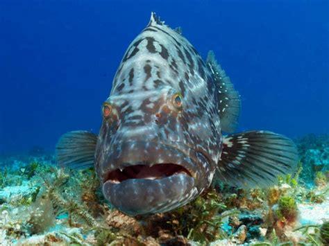 grouper cozumel goliath atlantic diving underwater endangered pouted groupers characteristics marine dive bonaci