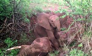 Orphaned Kenyan elephant refused to leave dead mother's ...
