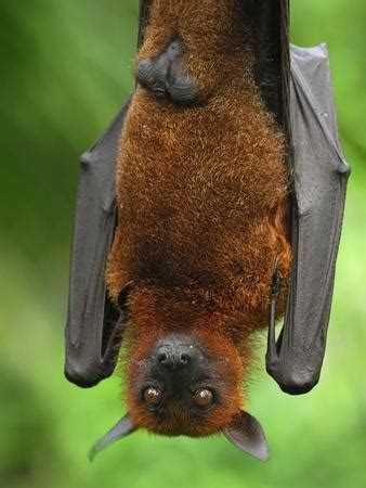 volpe volante flying fox pteropus vyrus malaysia photographic
