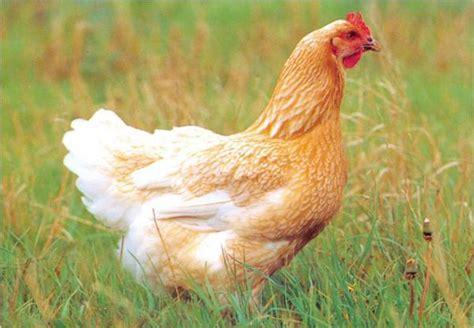 cuisiner la poularde la poularde baugrin les abattoirs menard sa volailles