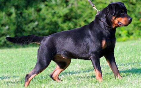 alimentazione rottweiler rottweiler carattere e informazioni sulla razza canina