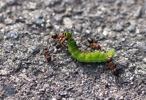 Kleine Rote Ameisen Im Garten 4271 by Im Garten Und Am Wegesrand Arbeitsteilung