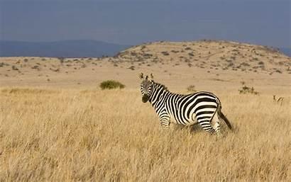 Zebra African Animals Wallpapers Beasts