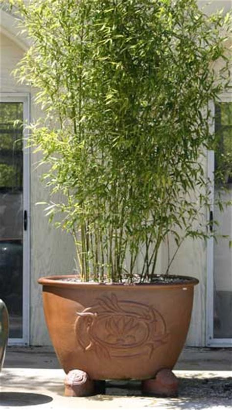 privacy potted bamboo plants frequently asked questions about the potted hedge special home