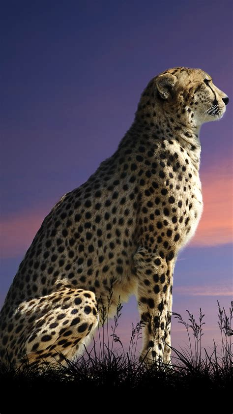 beautiful cheetah iphone   wallpaper gallery