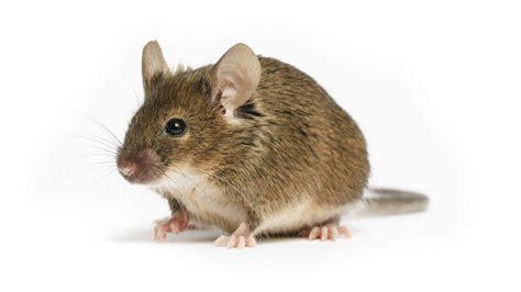 pictures of mice b6 129 psen1 tg appswe taup301l 1lfa mmjax