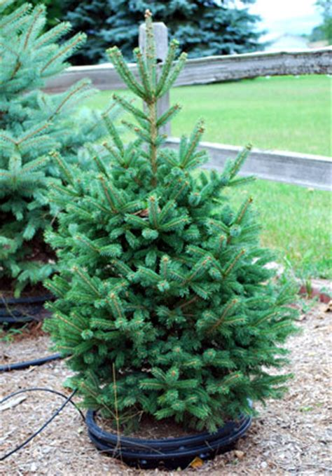 container christmass tree lancaster pa enjoy a living tree for years to come msu extension