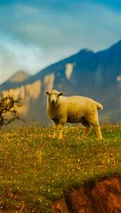New Zealand Sheep 4k Wallpapers