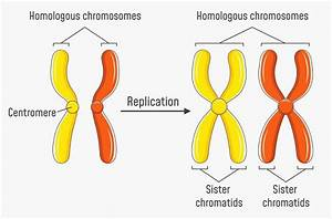 Nucleus Chromosomes Diagram