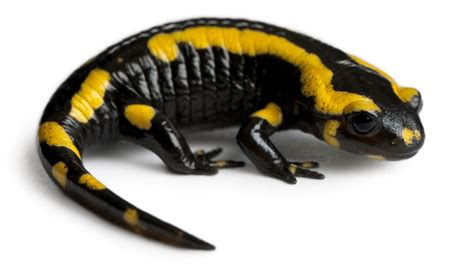 salamanders  pets