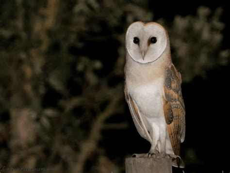 What Do Barn Owls Eat by What Do Owls Eat Definitive Guide To 33 Types Of Owls