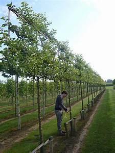 Apfelbaum Hochstamm Kaufen : malus evereste apfelbaum zierapfel 39 hochstamm spalier 39 h 120 b 210 t 20 stamm 210 cm ~ Orissabook.com Haus und Dekorationen