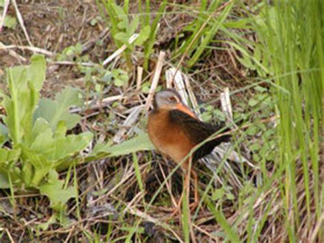 secretive marsh birds nys dept  environmental